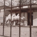 Camels 1901 Central Park Zoo