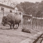 Buffalo and baby 1901 Central Park Zoo