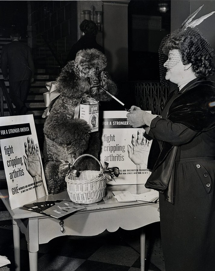 "Arthritis and Rheumatism Foundation, ""Koko"" the poodle pauses for a cigarette Jan 18 1952 photo Murray Garber Journal American"