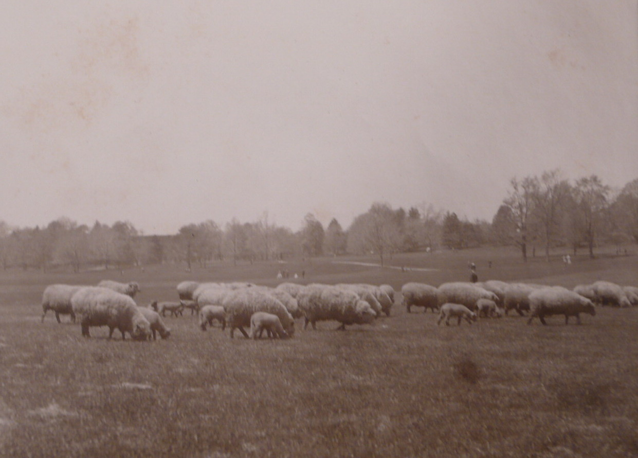 Sheep In Brooklyn - 1901
